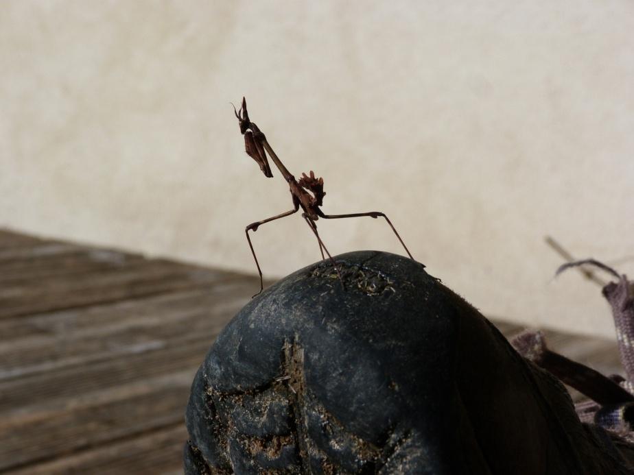 Conehead Mantis (juvenile)