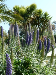 Echium at our first port of call in France, Le Jardin Exotique de Roscoff