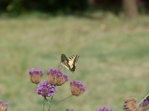 Swallowtail, La Petite Pepiniere