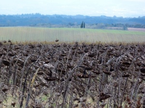 Sunflowers in November, Minervois