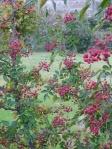 Szechuan Pepper Tree (Zanthoxylum simulans)