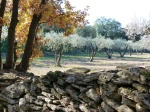 Olive grove in the winter sunshine, Vers, Cevennes