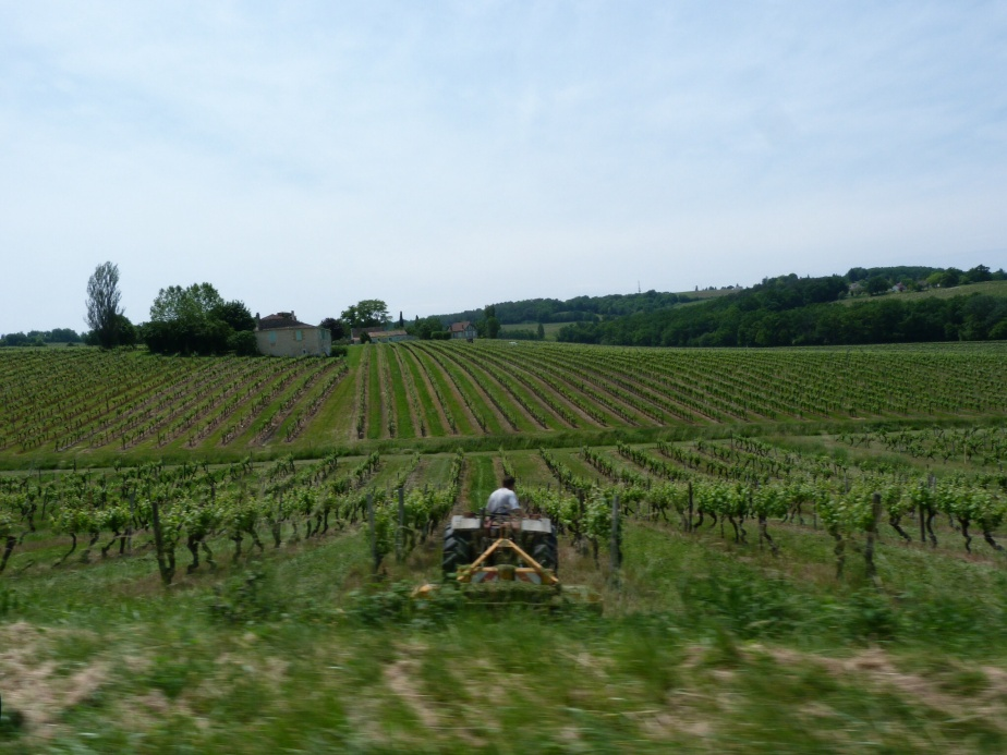 Grass cutting between rows, Cahors (June 2013)