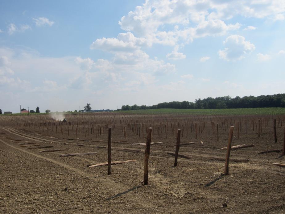 New vineyard near Gondrin, in the Gers (July 2013)