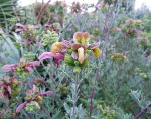 Salvia lanceolata.