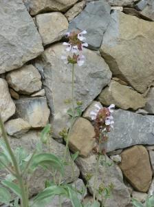 Salvia pomifera