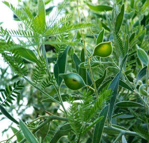 Acacia x hanburyana