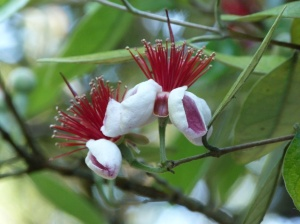 Accra sellowiana (Pineapple Guava or Feijoada) These striking flowers should turn into delicious little fruits later in the year although the buds are proving popular with the Blackbirds
