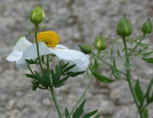 Romneya coulteri (Californian Tree Poppy)