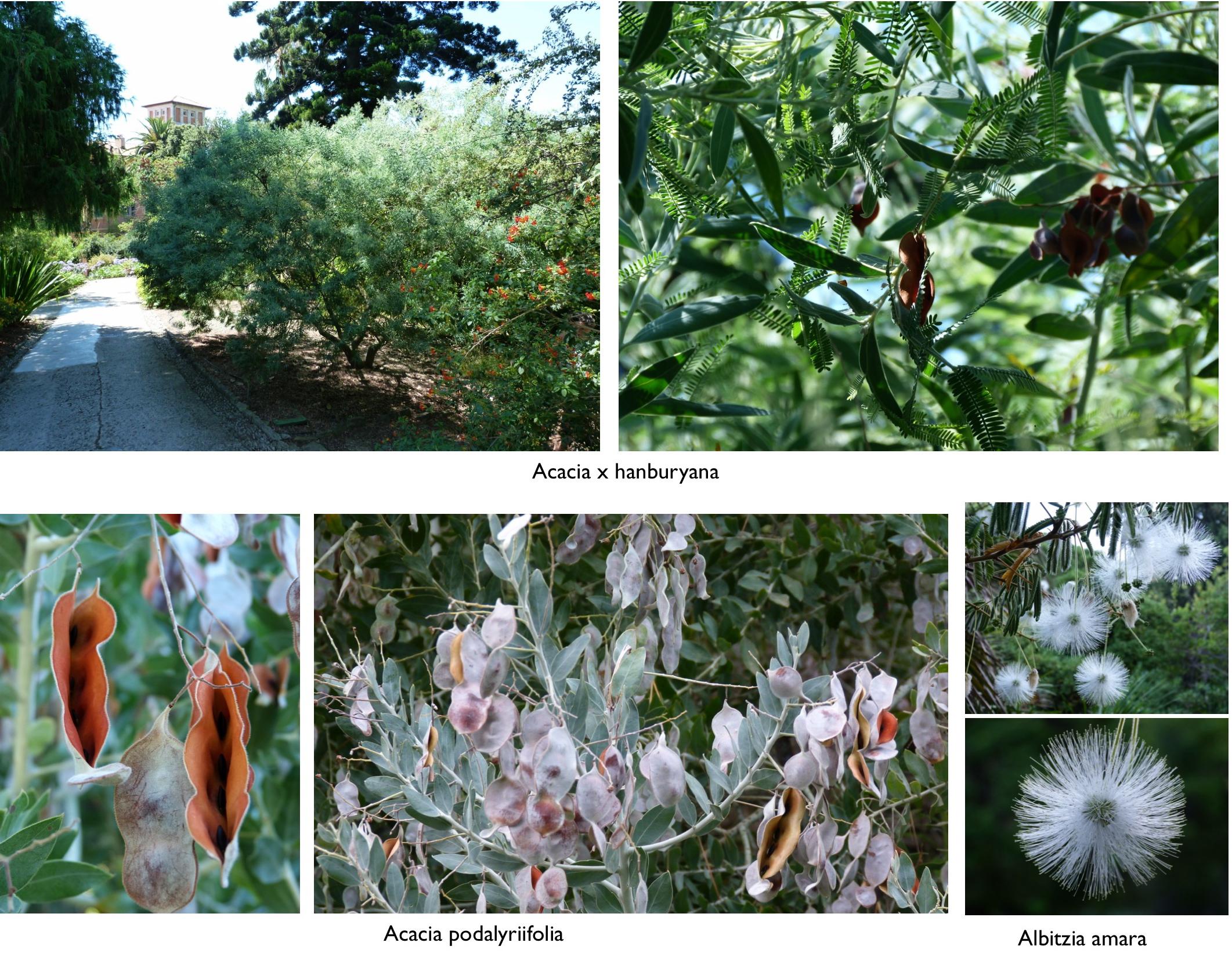Acacia le jardin champ tre for Jardin hanbury