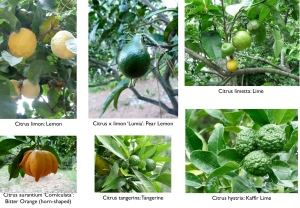 My favourite Citrus trees are in this collage: the horn-shaped Bitter Orange and the heady scented Kaffir Lime.