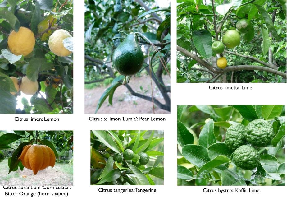 Hanbury Botanical Gardens Part II: Citrus and Acacia Trees (and anAlbizia)