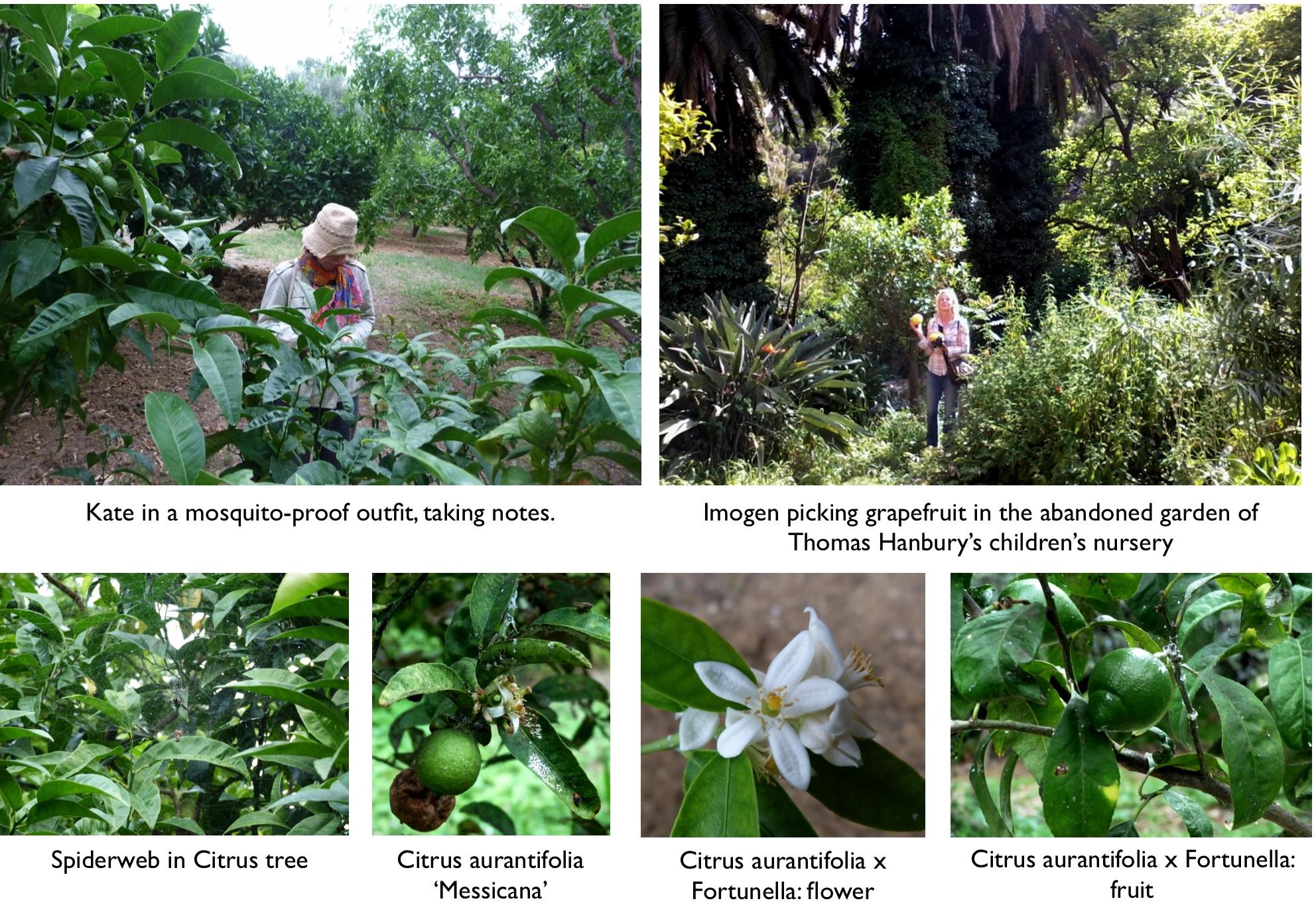 Hanbury botanical gardens part ii citrus and acacia trees and an albizia le jardin champ tre for Jardin hanbury