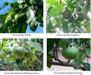 I've heard that some of the labels on the Citrus trees are wrong. Let me know if you know!