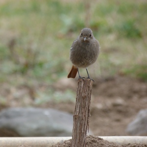 Redstart on post