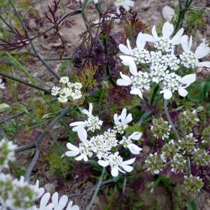 Annual - Orlaya grandiflora