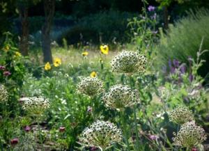 Allium cowannii