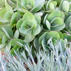 Sedum 'Joyce Henderson', Dianthus anatolicus