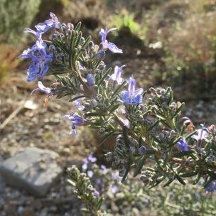 Rosmarinus 'Corsican Blue'