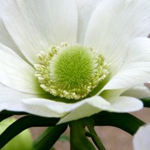 Anemone 'The Bride'