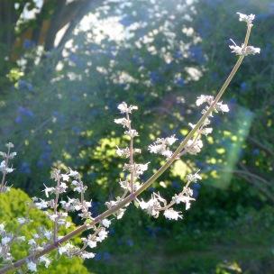 Salvia apiana