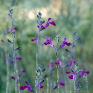 Salvia 'Violette'
