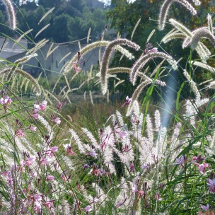 Pennisetum 'Tall Tails' and Gaura