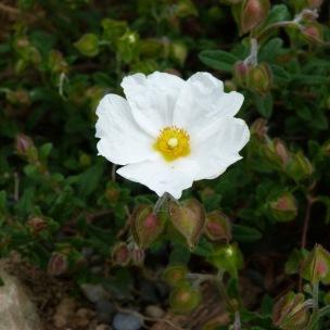 Cistus obtusifolia