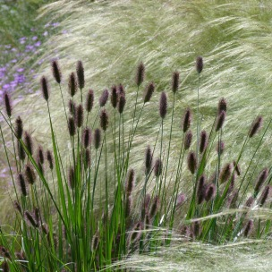 Pennisetum 'Red Buttons'