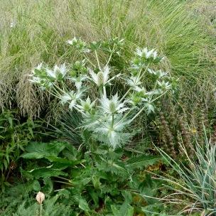 Eryngium 'Silver Frost'