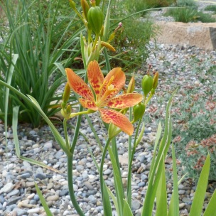 Iris domestica