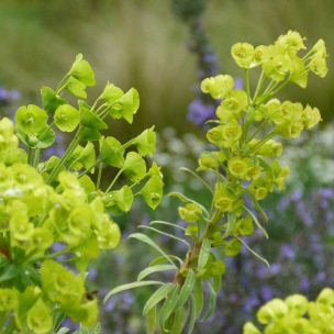 Euphorbia Wulfennii