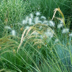 Acnatherum calamagrostis